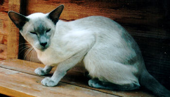 Blue-Pointed Siamese Cat Club Breed History