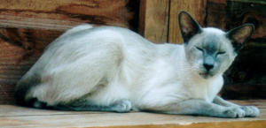 Blue-Pointed Siamese Cat Club Welfare
